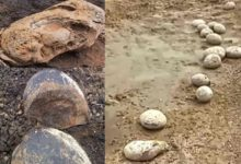 Photo of The eggs fossils found in Perambalur are belongs to dinosorous?
